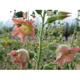 Nicotiana glutinosa - Tabac (graines / seeds)