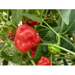 Capsicum annuum 'Hot Sqash Red' - Piment (graines / seeds)