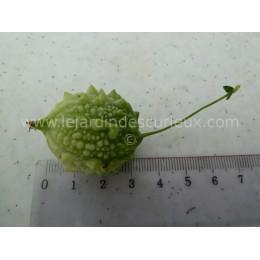 Momordica charantia 'Baby Thaï' - Momordique (Graines / seeds)