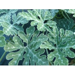 Cucurbita cordata (graines/ seeds)