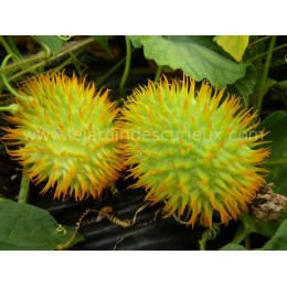 Momordica foetida (Graines / seeds)