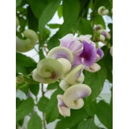 Phaseolus caracalla - Haricot colimaçon (graines / seeds)