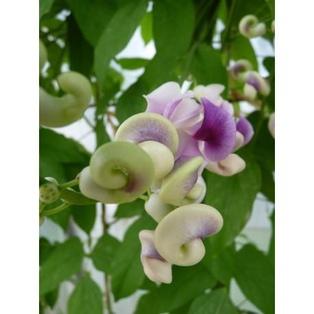 Phaseolus caracalla - Haricot colimaçon
