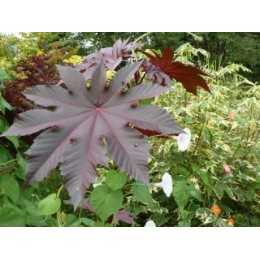 Ricinus communis 'New-Zealand Purple' - Ricin