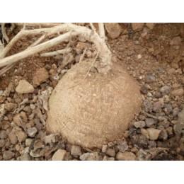 Corallocarpus epigaeus - Caudex (graines / seeds)