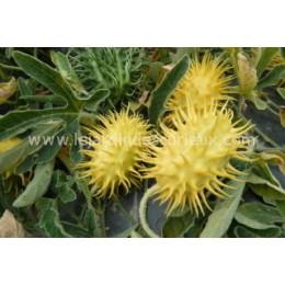 Cucumis insignis (Graines / seeds)