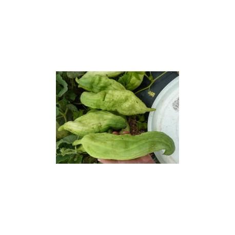 Cyclanthera edulis - Cyclanthère
