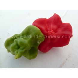 Capsicum annuum 'Bishop Crown' - Piment