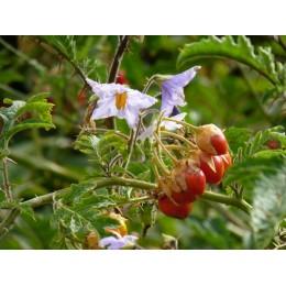 Solanum sisymbrifolium - Morelle de balbis  (graines / seeds)
