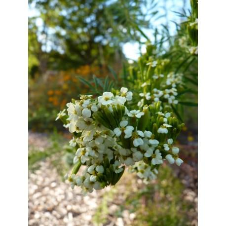 Tagetes minuta -  Oeillet d'Inde géant  (graines / seeds)