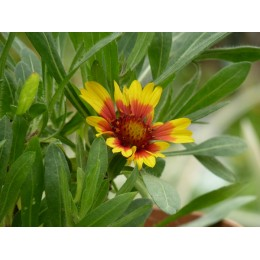 Gaillardia aristata 'Arizona Sun' - Gaillarde