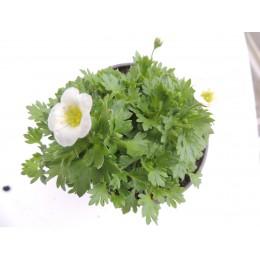 Saxifraga X arendsii 'Touran Large White' - Saxifrage