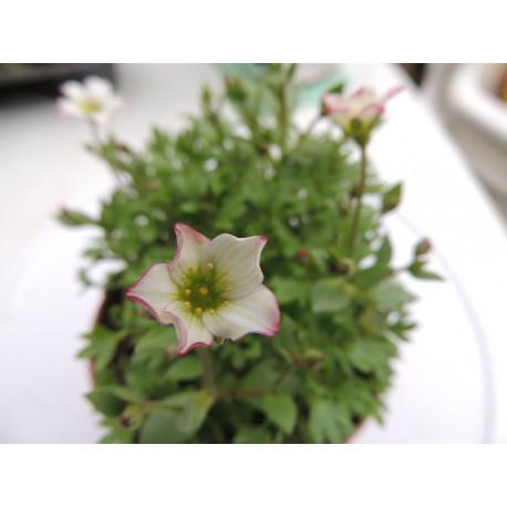 Saxifraga X arendsii 'Alpino Early Pink' - Saxifrage