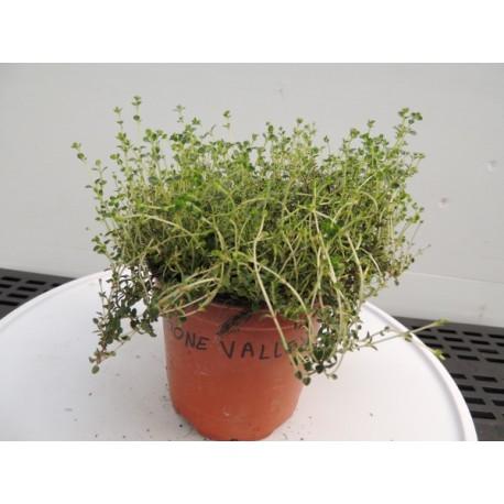 Thymus citriodorus 'Doone Valley' - Thym