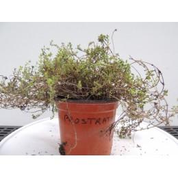 Thymus citriodorus 'Prostate' - Thym