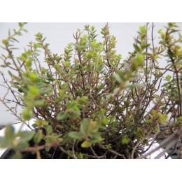 Thymus citriodorus 'Silver Queen' - Thym