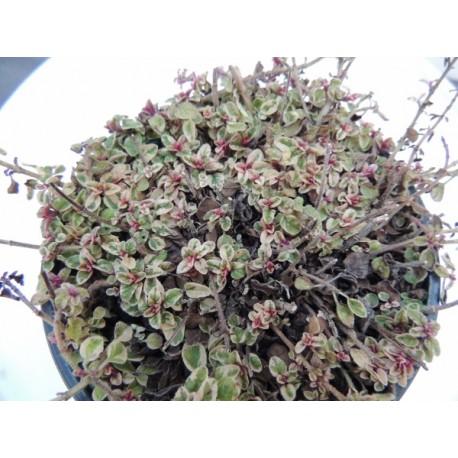 Origanum vulgare 'Country Cream' - Origan Panaché