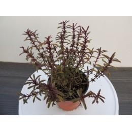 Thymus vulgaris 'Faustinoi' - Thym