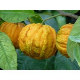 Citrus aurantium 'Striata' - Bigaradier strié, Orange Amer (Agrumes)