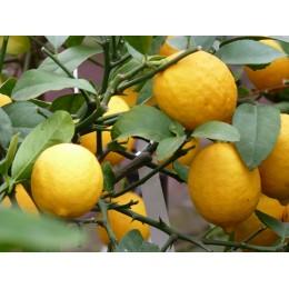 Citrofortunella X Floridana - Limequat (Agrume)