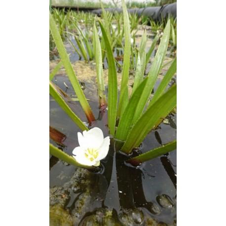 Stratiotes aloides - Aloès d'eau, Ananas d'eau