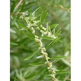 Lippia polystachya - Verveine Chewing gum Chlorophylle