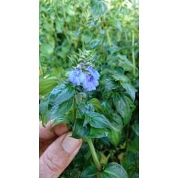 Rungia klossii - Plante à goût de champignon