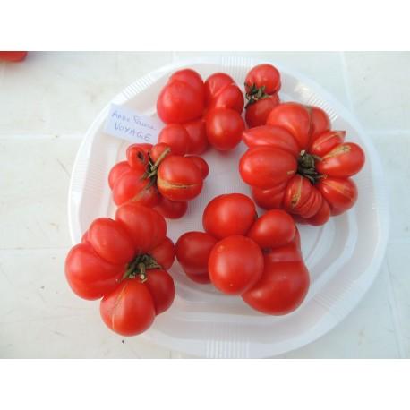 Solanum lycopersicum voyage