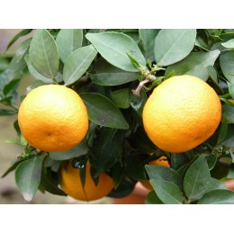 Citrus reticulata 'Keraji'