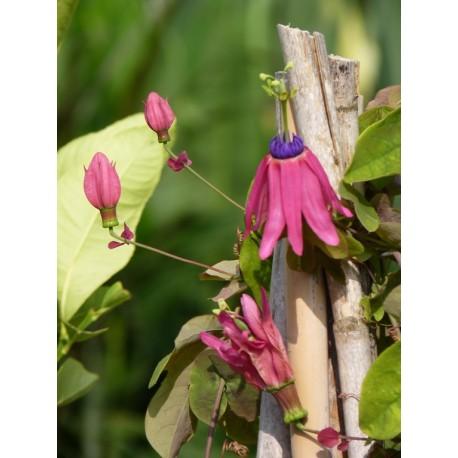 Clitoria ternatea - Pois bleu / Fleur Clitoris (Graines / Seeds)