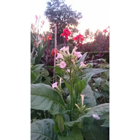 Nicotiana tabacum var. havanensis - Tabac Cubain (graines / seeds)