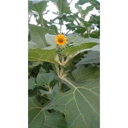 Smallanthus sonchifolius - Poire de terre ou Yacon (Plant)
