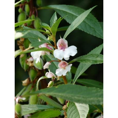 Impatiens balsamina 'Bonbon' - (graines / seeds)