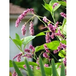 Polygonum orientale - Renouée orientale (graines / seeds)