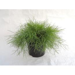 Acacia cognata 'Limelight' - Mimosa