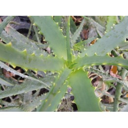 Aloes arborescens - Aloes arborescent