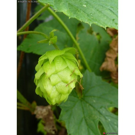 Humulus lupulus 'Bramling Cross' - Houblon (pour bière)