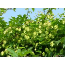 Humulus lupulus 'Saaz' - Houblon (pour bière)