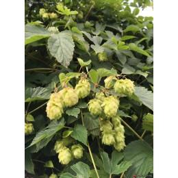 Humulus lupulus 'Admiral' - Houblon (pour bière)