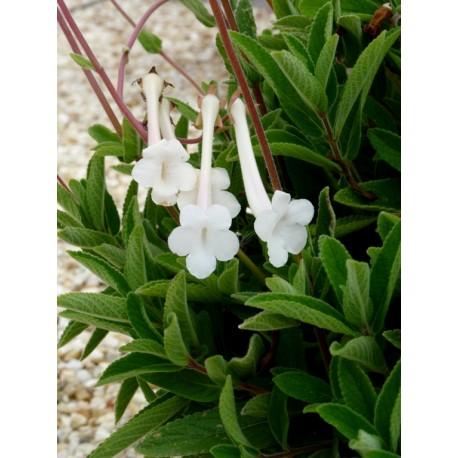 Sinningia tubiflora - Sinningia