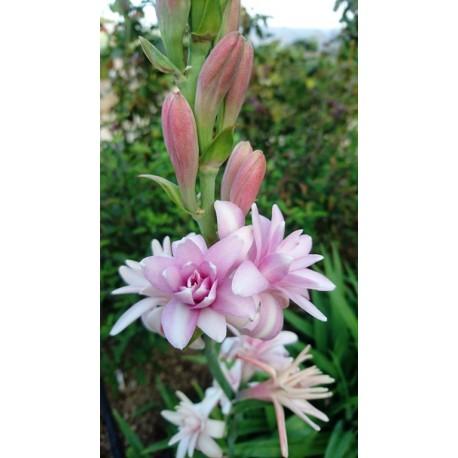 Polianthes tuberosa - Tubéreuse