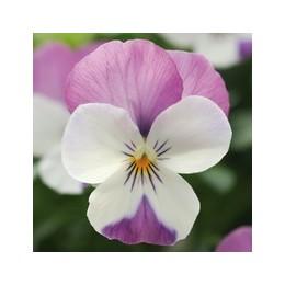 Viola cornuta (alpine) 'Pink Wings' - Pensée à petites fleurs (graines / seeds)