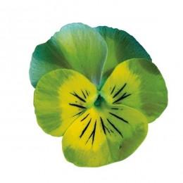 Viola cornuta (miniola) 'Heart Aqua' - Pensée à petites fleurs (graines / seeds)