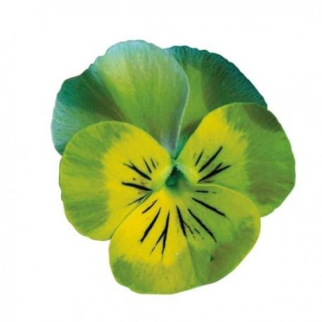 Viola cornuta (alpine) 'Tiger Eye' - Pensée à petites fleurs