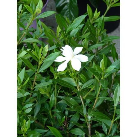 Gardenia jasminoïdes 'Pinwheel' - Gardénia rustique
