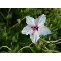 Mirabilis longiflora - Belle de nuit à longues fleurs (racine / bulb)