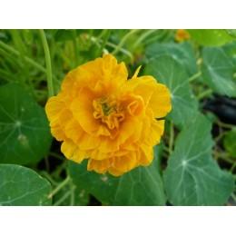 Tropaeolum minus 'Darjeeling Gold' - Capucine double jaune