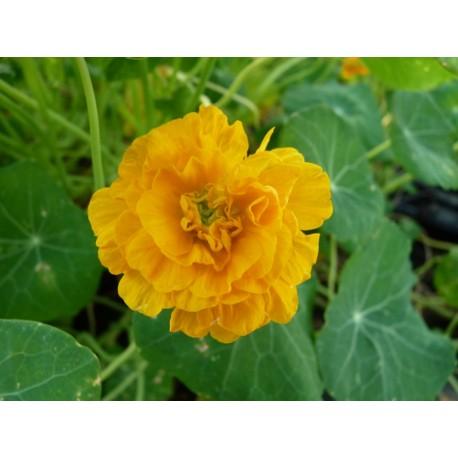 Tropaeolum minus 'Darjeeling Gold'