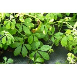 Gynostemma pentaphyllum - Jiaogulan ou thé de l'immortalité