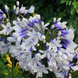 Agapanthus X 'Double Diamond' - Agapanthe blanche à fleurs doubles (naine)